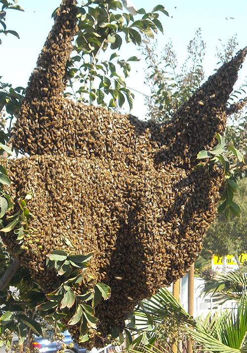 Africanized-bees