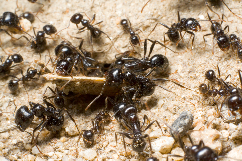 Team of Ant