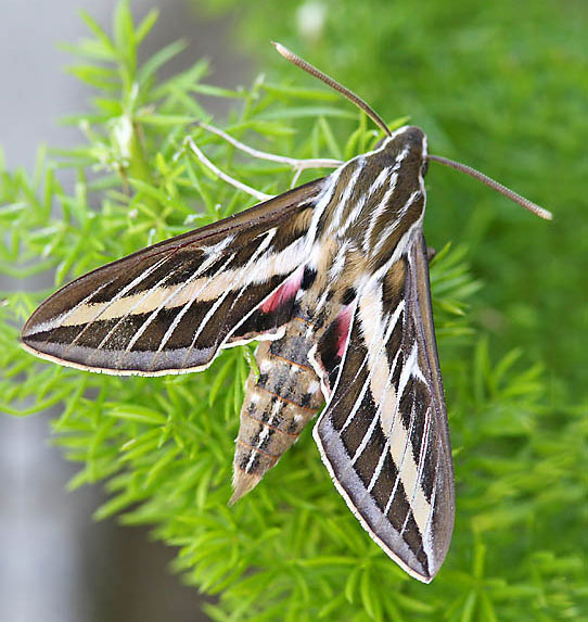 Sphinx Moth Pinpoint Pest Control