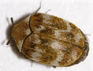 Carpet Beetles Clothes Moths Amp Bag Worms Pinpoint Pest