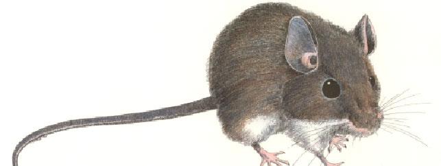 Rats & Mice | Rodent Exterminators | Pinpoint