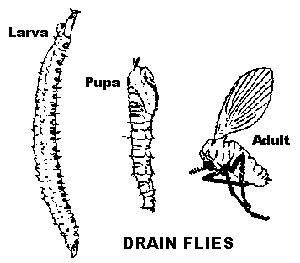 drain-fly-life-cycle