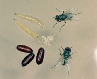 Flies   Fly Exterminators   Pinpoint Pest Control