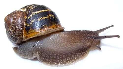 Garden Snails Pinpoint Pest Control