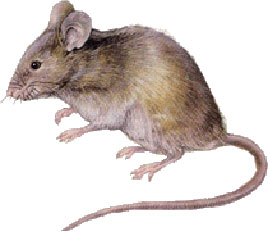 Rats Amp Mice Rodent Exterminators Pinpoint
