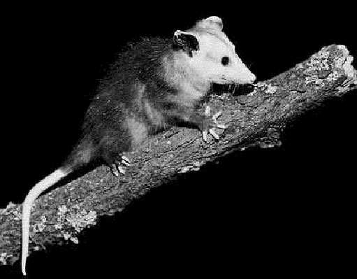 Raccoons, Opossums, & Skunks | Pinpoint Pest Control
