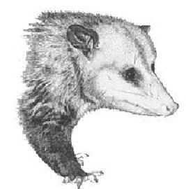 Raccoons Opossums Amp Skunks Pinpoint Pest Control