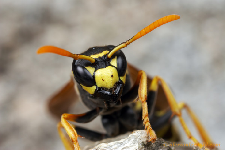 Wasps, Bumblebees, & Yellowjackets | Pinpoint Pest Control